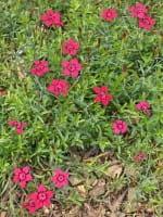 Heidenelke • Dianthus deltoides Brillant
