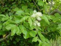 Blumenesche • Fraxinus ornus