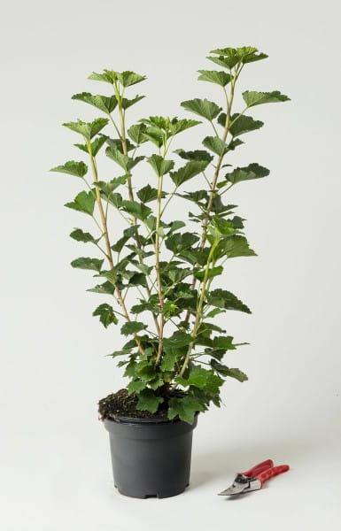 Johannisbeere Weiße Langtraubige • Ribes sativum Weiße Langtraubige