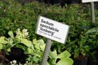 Prächtiges Fettblatt • Sedum spectabilis Iceberg