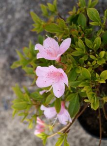 Japanische Azalee Diamant Rosa • Rhododendron obtusum Diamant Rosa