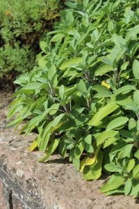 Echter Salbei • Salvia officinalis