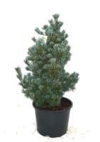 Zwergmännchenkiefer • Pinus parviflora Negishi