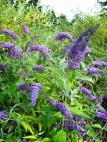 Sommerflieder Dart´s Purple Rain • Buddleja davidii Dart´s Purple Rain
