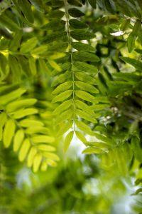 Lederhülsenbaum • Gleditsia triacanthos