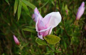 Sternmagnolie George Henry Kern • Magnolia stellata George Henry Kern