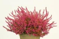 Gardengirls® Winterharte Knospenheide Bonita • Calluna vulgaris Bonita