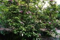Purpurmagnolie Ricki • Magnolia liliiflora Rubra