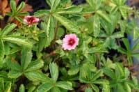 Garten-Fingerkraut Miss Willmott • Potentilla nepalensis Miss Willmott