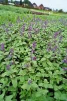 Traubige Garten Katzenminze 'Grog' - Nepeta racemosa 'Grog'
