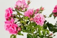 Rose Palmengarten Frankfurt ®