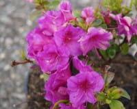 Japanische Azalee Schrammstein • Rhododendron Schrammstein
