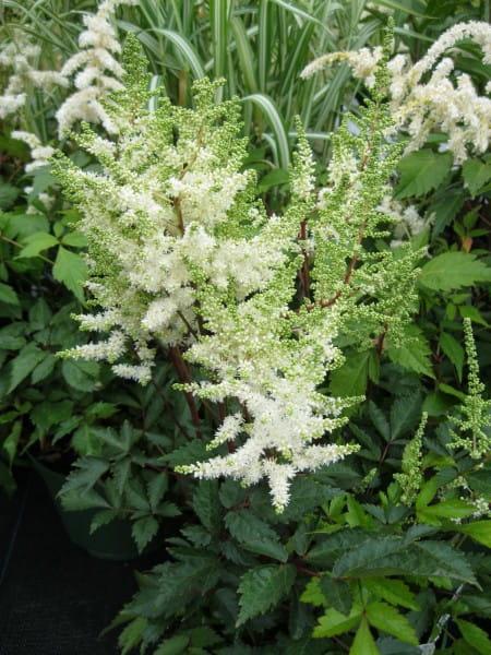 Garten Prachtspiere White • Astilbe x cult Younique White