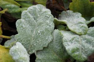 Silberblatt-Salbei • Salvia argentea