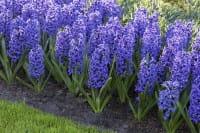 Garten-Hyazinthe • Hyacinthus orientalis