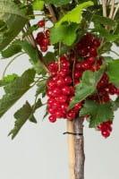 Rote Johannisbeere Rolan • Ribes rubrum Rolan