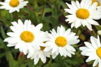 Garten-Margerite Gruppenstolz • Leucanthemum x superb. Gruppenstolz