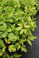 Garten Prachtspiere • Astilbe x arendsii Cattleya