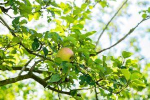 Apfel Hasenkopf • Malus Hasenkopf