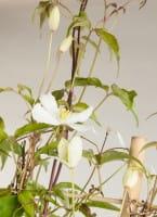 Berg-Waldrebe Grandiflora • Clematis montana Grandiflora