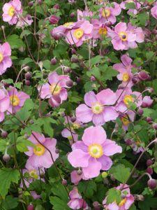 Garten Herbst Anemone • Anemone hupehensis Splendens