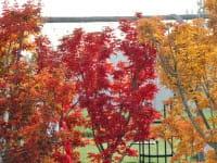 Fächerahorn Shishigashira • Acer palmatum Shishigashira