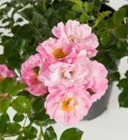 Rose Satina • Rosa Satina