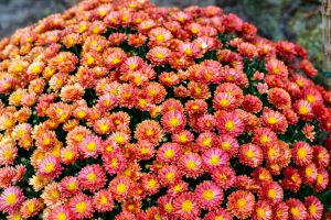 Margerite Robinsons Rot • Tanacetum coccineum Rob Rot