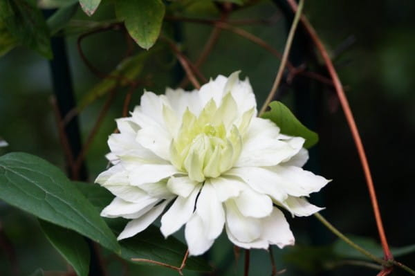 Waldrebe Alba Plena • Clematis florida Alba Plena
