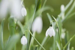 Heimisches Schneeglöckchen • Galanthus nivalis