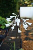 Weisse Schmucklilie • Agapanthus africanus Albus