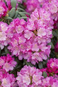 Rhododendron Blurettia • Rhododendron yakushimanum Blurettia