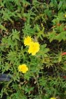 Sonnenröschen Golden Queen • Helianthemum Hybr. Golden Queen