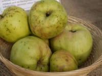 Apfel Weißer Winterglockenapfel • Malus Weißer Winterglockenapfel