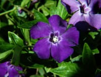 Kleinblättriges rotviolettes Immergrün • Vinca minor Rubra