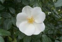 Rose Escimo® • Rosa Escimo