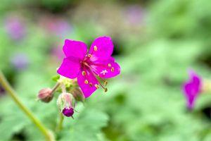 Garten-Storchschnabel • Geranium macrorrhizum Czakor