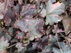 Garten-Silberglöcken Midnight Rose • Heuchera micrantha Midnight Rose