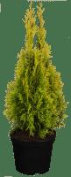 Lebensbaum Golden Smaragd • Thuja occidentalis Golden Smaragd
