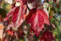 Rotahorn Red Sunset • Acer rubrum Red Sunset