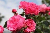 Rose Leonardo da Vinci • Rosa Leonardo da Vinci ®