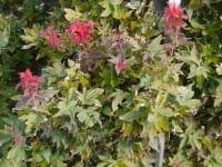 Fächerahorn Ruby Stars • Acer palmatum Ruby Stars
