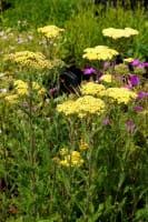 Hohe Garten-Gold-Garbe • Achillea filipendulina Credo