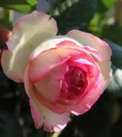 Strauchrose Eden Rose 85 • Rosa Eden Rose 85