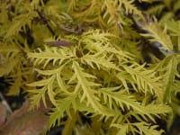 Trauben-Holunder Golden Lace • Sambucus racemosa Golden Lace