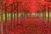 Amerikanische Roteiche • Quercus rubra