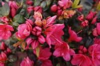 Japanische Azalee Canzonetta • Rhododendron obtusum Canzonetta