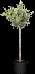 Olivenbaum Olive • Oleo Europaea