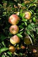 Apfelbaum Ontario • Malus Ontario