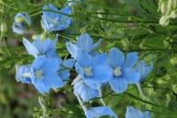 Garten-Rittersporn Ballkleid • Delphinium x bellad. Ballkleid